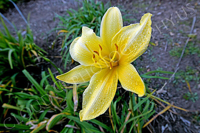 FLOW 00504 A low growing daylily flower in full bloom, by Peter J Mancus
