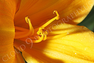 FLOW 00508 An extreme close up look at a daylily flower's reproductive organs, by Peter J Mancus