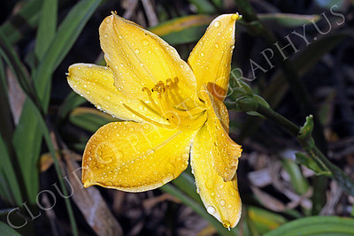 FLOW 00506 A daylily flower in full bloom, by Peter J Mancus