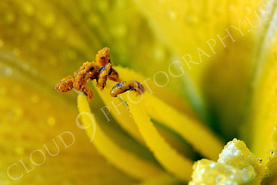 FLOW 00501 An extreme close up of a daylily flower's reproductive organs, by Peter J Mancus