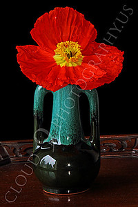 FLOW 00117 An icelandic poppy flower in a green vase with double handles, by Peter J Mancus