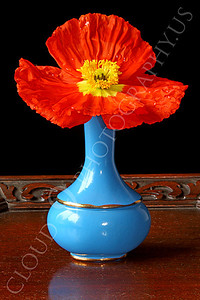FLOW 00103 An icelandic poppy flower in full bloom in a medium blue vase, by Peter J Mancus