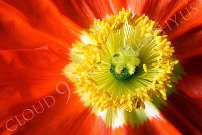 FLOW 00130 Looking down on the reproductive organs of an icelandic poppy flower in full bloom, by Peter J Mancus