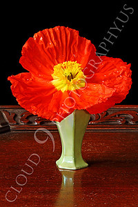 FLOW 00113 An icelandic poppy in a small light green vase, by Peter J Mancus