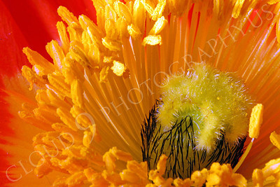 FLOW 00116 An extreme close up of the reproductive organs of an icelandic poppy flower, by Peter J Mancus