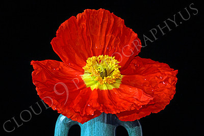 FLOW 00114 An icelandic poppy flower in a double handle green vase, by Peter J Mancus