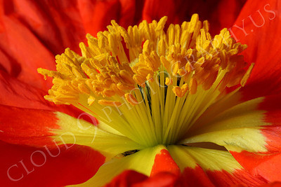 FLOW 00118 An extreme close up, side view, of the reproductive organs of an icelandic poppy flower, by Peter J Mancus