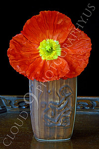 FLOW 00111 An icelandic poppy orange and yellow flower in full bloom in an earth tone vase, by Peter J Mancus