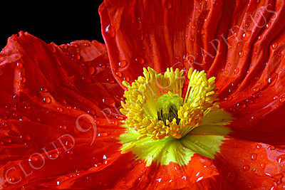 FLOW 00104 A close up of an icelandic poppy orange and yellow flower in full bloom, by Peter J Mancus