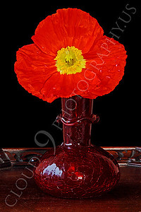 FLOW 00115 An icelandic poppy flower in a ruby red vase, by Peter J Mancus
