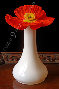 FLOW 00100 An icelandic poppy flower in full bloom in a white vase, by Peter J Mancus