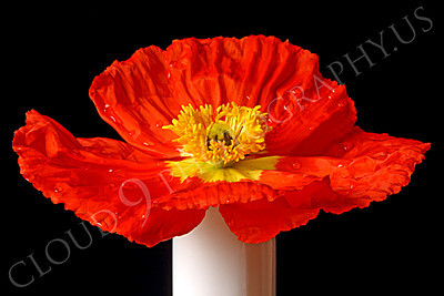 FLOW 00108 A close up of an icelandic poppy orange and yellow flower in full bloom in a white vase, by Peter J Mancus