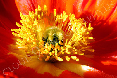 FLOW 00134 A close up view of the fascinating core reproductive organs of an icelandic poppy flower in full bloom, by Peter J Mancus