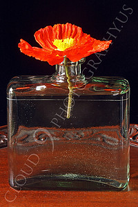 FLOW 00107 An icelandic poppy orange and yellow flower in full bloom in a clear vase, by Peter J Mancus
