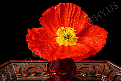 FLOW 00112 A close up of an icelandic poppy orange and yellow flower in full bloom in a ruby red vase, by Peter J Mancus