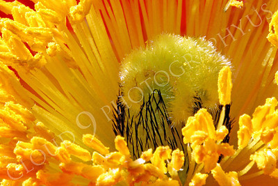 FLOW 00124 An ultra, extreme, close up view of the reproductive organs of an icelandic poppy flower, by Peter J Mancus