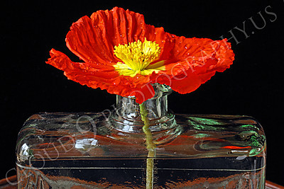 FLOW 00101 An icelandic poppy flower in full bloom in a clear vase, by Peter J Mancus