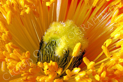 FLOW 00126 Another ultra extreme close up view of the reproductive organs of an icelandic poppy flower, by Peter J Mancus