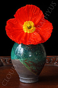 FLOW 00116 An icelandic poppy flower in a green vase, by Peter J Mancus