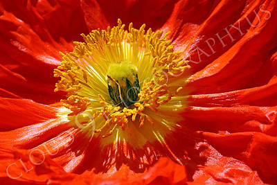 FLOW 00122 A more expansive, top, back-lighted, close up view of the reproductive organs of an icelandic poppy flower, by Peter J Mancus