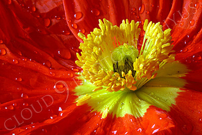 FLOW 00106 An extreme close up of an icelandic poppy orange and yellow flower's reproductive sexual organs, by Peter J Mancus