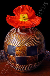 FLOW 00105 An icelandic poppy orange and yellow flower in full bloom in a gold vase, by Peter J Mancus