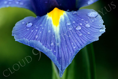 FLOW 00214 An iris flower petal with dew drops, by Peter J Mancus