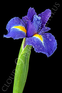 FLOW 00207 A full bloom iris flower against a black background, by Peter J Mancus