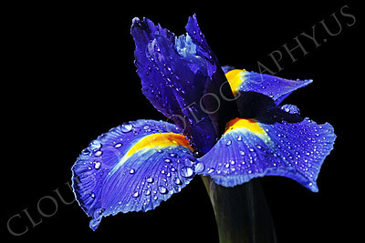 FLOW 00206 A beautiful iris flower in full bloom, with dew drops, by Peter J Mancus