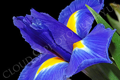 FLOW 00228 Side view of an iris flower, by Peter J Mancus