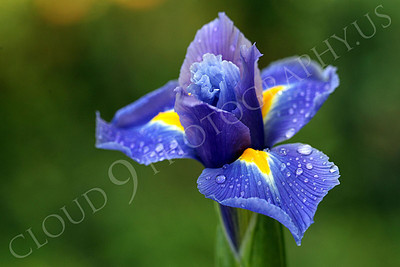 FLOW 00210 An iris flower with dew drops, by Peter J Mancus