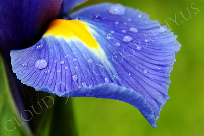 FLOW 00220 An iris flower petal with dew drops, by Peter J Mancus