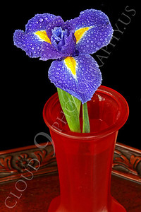 FLOW 00217 An iris flower in a red vase on a wood table, by Peter J Mancus