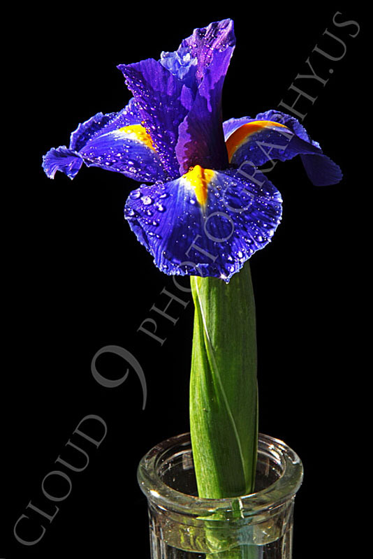 FLOW 00219 An iris flower in a clear vase, by Peter J Mancus