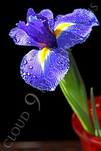 FLOW 00227 An iris flower in a red vase, by Peter J Mancus