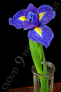 FLOW 00215 An iris flower in a clear vase on a wood table, by Peter J Mancus