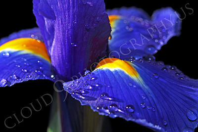 FLOW 00208 Dew drops on an iris flower, by Peter J Mancus