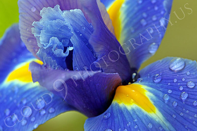FLOW 00202 An up close, tight, intimate, view of a beautiful iris flower in full bloom, with dew drops, by Peter J Mancus