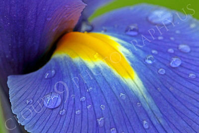 FLOW 00204 A close up view of an iris flower petal with dew drops, by Peter J Mancus