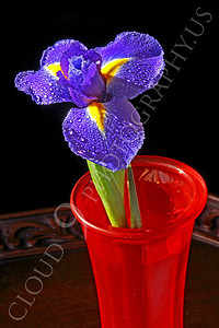 FLOW 00223 An iris flower in a red vase, by Peter J Mancus