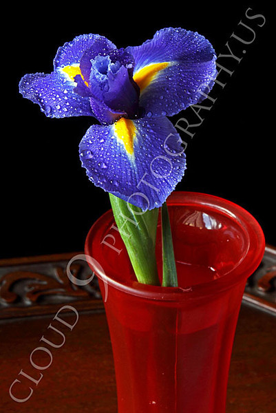 FLOW 00201 A full bloom iris flower in a red vase on a wood table, by Peter J Mancus