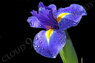 FLOW 00212 A beautiful full bloom iris flower against a black backkground, by Peter J Mancus