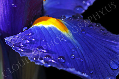 FLOW 00218 An extreme close up of dew drops on an iris flower, by Peter J Mancus