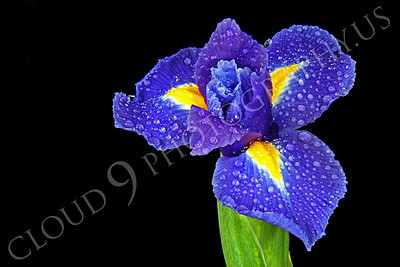 FLOW 00222 An iris flower with dew drops, by Peter J Mancus