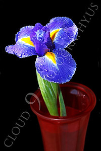 FLOW 00225 An iris flower in a red vase, by Peter J Mancus