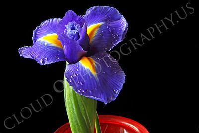 FLOW 00230 An iris flower in a red vase, by Peter J Mancus
