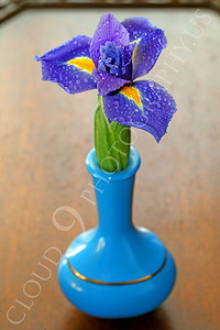 FLOW 00209 An iris flower in a small blue vase on a wood table, by Peter J Mancus