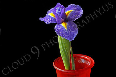 FLOW 00224 An iris flower in a red vase, by Peter J Mancus