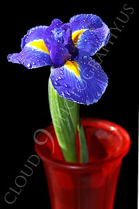 FLOW 00213 An iris flower in a red vase, by Peter J Mancus