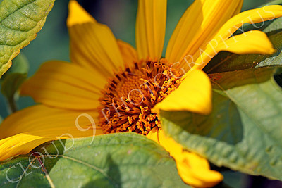 FLOW 00602 A beautiful Mexican sunflower in full bloom, by Peter J Mancus